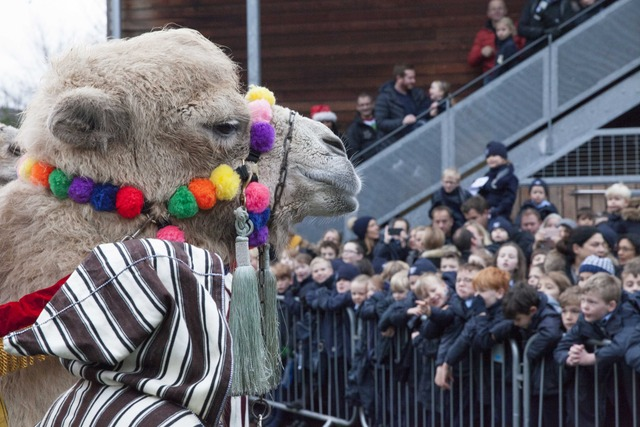 Camels visit Hornsby House School
